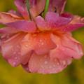 薔薇-京都植物園-9128