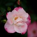 薔薇-京都植物園-9131