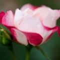 薔薇-京都植物園-9141