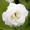 薔薇-京都植物園-9149