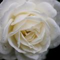 薔薇-京都植物園-9160