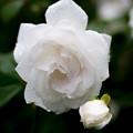薔薇-京都植物園-9167