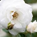 薔薇-京都植物園-9169