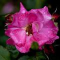 薔薇-京都植物園-9173