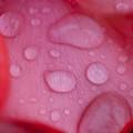 薔薇-京都植物園-9196