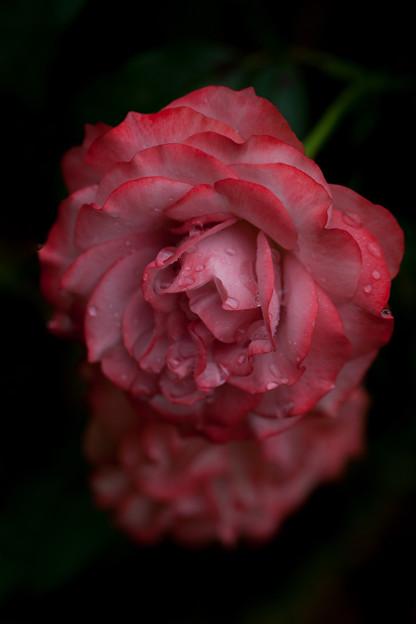 Photos: 薔薇-京都植物園-9205