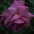薔薇-京都植物園-9225
