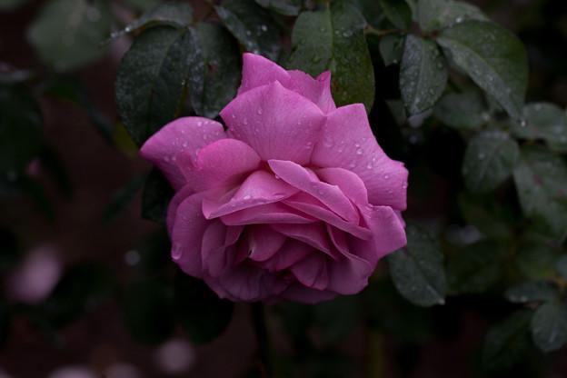 Photos: 薔薇-京都植物園-9226