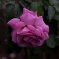 薔薇-京都植物園-9226