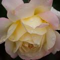 薔薇-京都植物園-9230