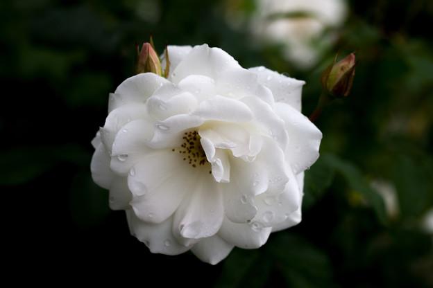 Photos: 薔薇-京都植物園-9261