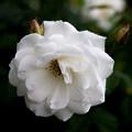 薔薇-京都植物園-9261