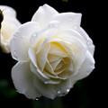 薔薇-京都植物園-9262