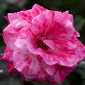 薔薇-京都植物園-9267