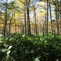 151016-146焼岳登山と上高地・黄葉の紅葉の中の散策路