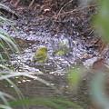 写真: 100127水浴び