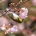 Photos: 110222-12河津桜とメジロ