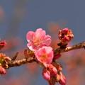河津桜 咲く!