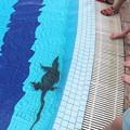 オオトカゲがプールに侵入。1