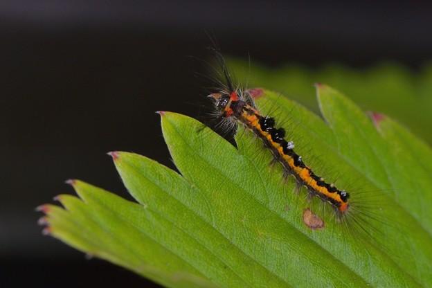 ヒメシロモンドクガ幼虫_14523