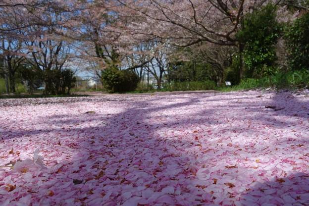 桜絨毯DSC06947
