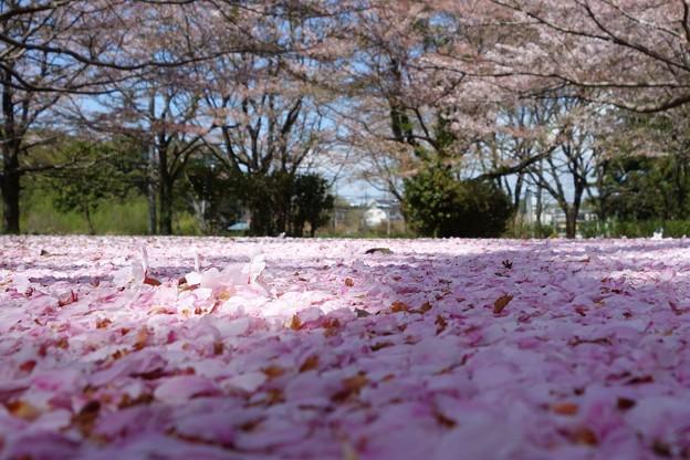 桜絨毯DSC06949