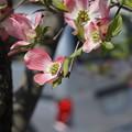Photos: 花みずき