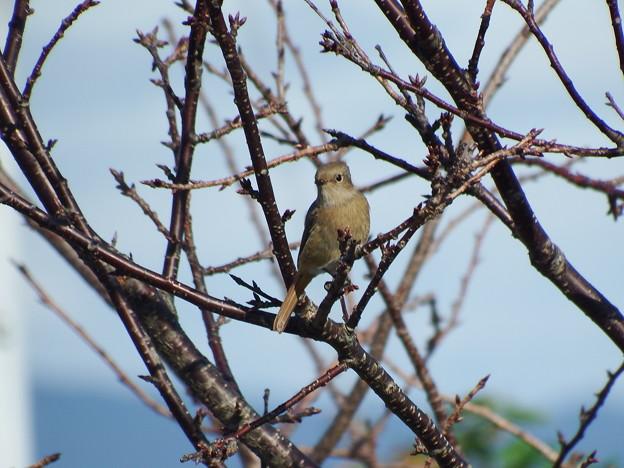 野鳥 (ジョウビタキの雌でした)
