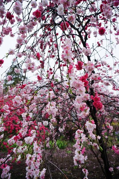〈都幾川堤の桜〉