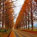 写真: マキノ町メタセコイア並木(1)