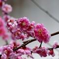 庭の梅(2)
