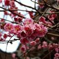庭の梅(3)