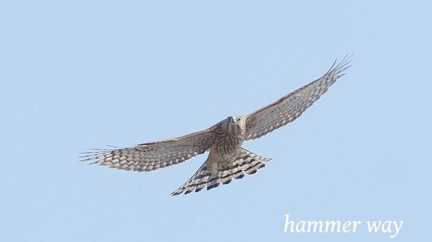 幼鳥の飛翔 ?