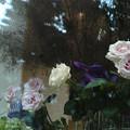 写真: 薔薇の吐息