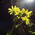 Photos: 「ツワブキの花・・」・・・