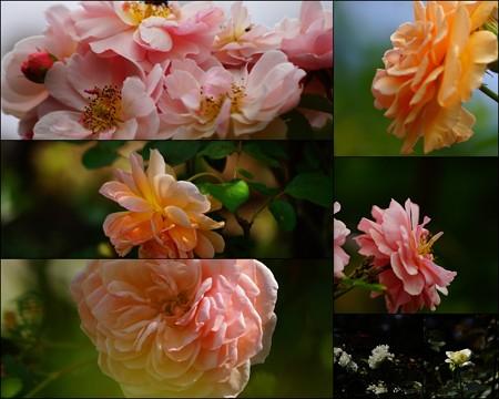 8月の薔薇たち