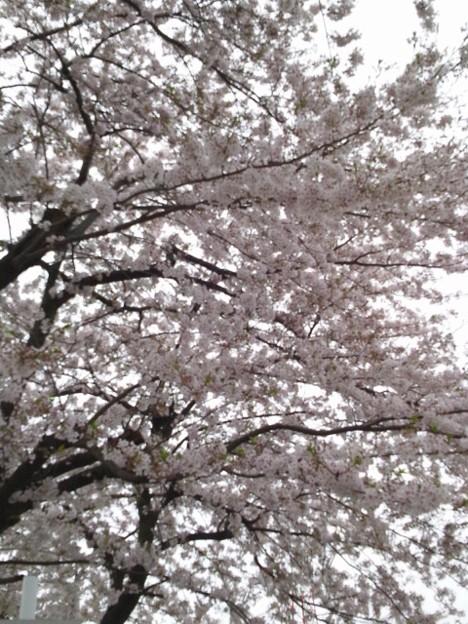 家の近くに結構咲いてて道が花びらの絨毯みたいになっている
