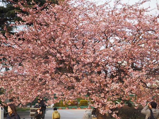 Photos: 中山競馬場 桜2