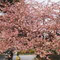 中山競馬場 桜2