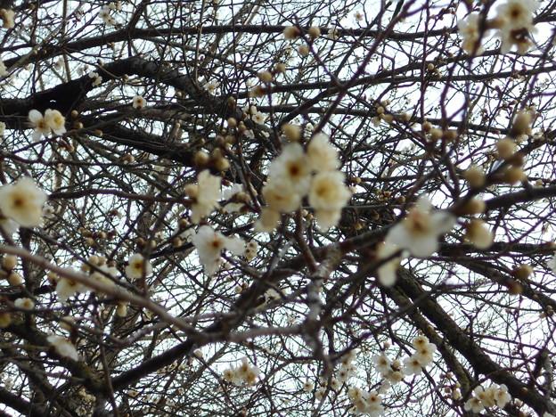 写真: 足利城ゴルフ倶楽部6番ミドルホールの梅の花2016.1.23