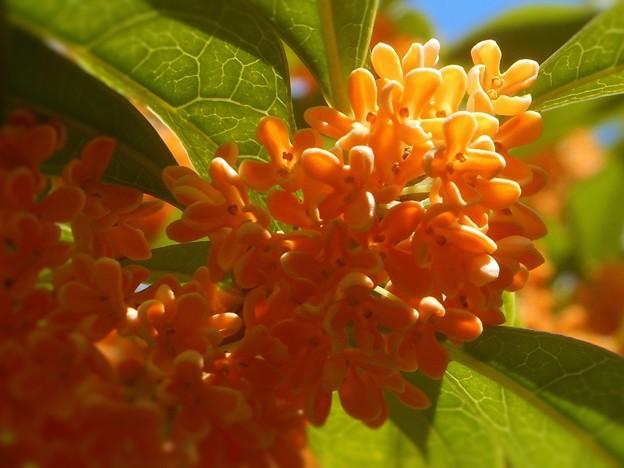 秋の陽に甘く香る~金木犀~