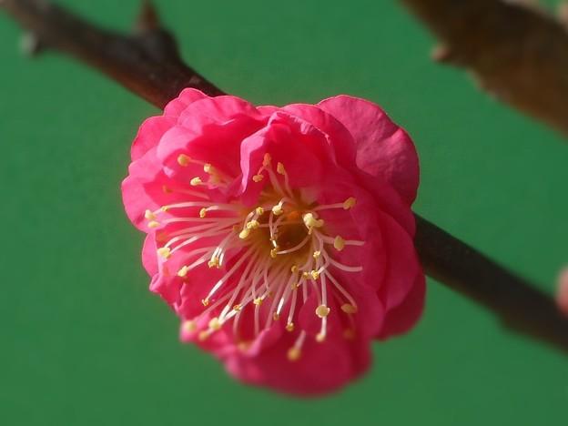 写真: 八重の寒紅梅 咲きました。