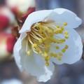 写真: 梅の香ほのかに