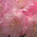 写真: ローズピンクに満開~アザレアの花達~