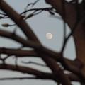 Photos: コブシの枝に冬の月