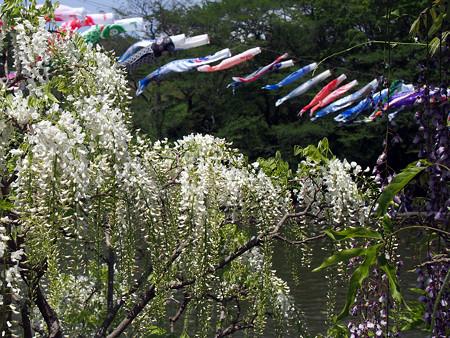 白藤の花と鯉のぼり @ 蓮華寺池公園