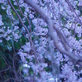 写真: 桜うらら、