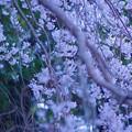 Photos: 桜うらら、