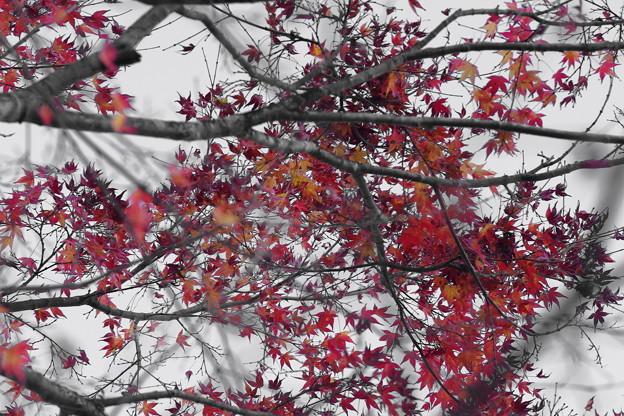 Photos: !枯れ落ちる「紅葉」モノクロ