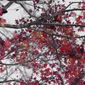 !枯れ落ちる「紅葉」モノクロ